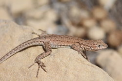 Lizard in Sego Canyon