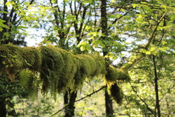 Mossy branch on trail to Upper Horseshoe Falls